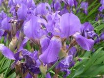 Natureza, flores da íris Fotografia de Stock Royalty Free