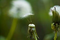 Natureza intacto Flor do Taraxacum na paisagem da natureza Dente-de-leão selvagem no dia de verão Sementes de flor do dente-de-le foto de stock
