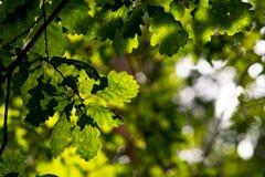 Natureza mágica, folhas verdes do carvalho Imagens de Stock Royalty Free