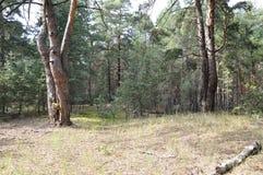 Natureza no verão madeiras Imagens de Stock
