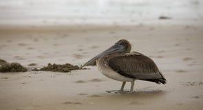 Natureza - pelicano na areia em Panamá imagens de stock royalty free