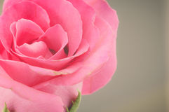 Natureza Rose Vintage Flowers Foto de Stock