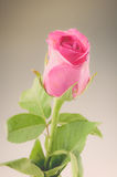 Natureza Rose Vintage Flowers Imagens de Stock