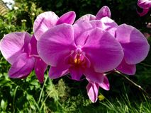Natureza roxa da flor da orquídea fotografia de stock