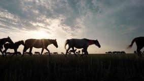 Natureza selvagem da beleza com pastagem do rebanho do cavalo no estepe no por do sol filme