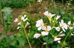 Natureza verde branca do fundo da flor do verão Imagem de Stock Royalty Free