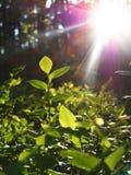 A natureza verde pequena do sol da floresta do galho da luz do sol sae da luz Fotografia de Stock