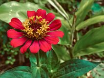 Natureza vermelha da folha do verde da flor foto de stock royalty free