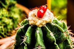 naturgräsplanbakgrunden, härlig kaktus Royaltyfri Bild