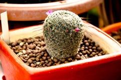 naturgräsplanbakgrunden, härlig kaktus Royaltyfri Fotografi