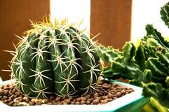 naturgräsplanbakgrunden, kaktus Arkivfoton
