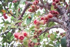 Naturgrupp av den rosa äpplegruppen som hänger på trädet, färgrika tropiska frukter fotografering för bildbyråer