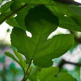 Naturhintergrund, Grün verlässt im natürlichen Licht und der Schatten, die von ruhigem und von sicherem die Erde oder das Leben o Lizenzfreie Stockfotografie