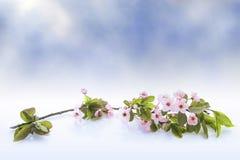 Naturhintergrund mit Blütenniederlassung von rosa Kirschblüte blüht Stockfotografie