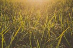 Naturhintergrund mit Reisfeld und Sonnenuntergang Lizenzfreie Stockfotografie