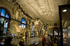 Naturhistorisches Museum Dinos exposition. Exposition of a Naturhistorisches Museum in Vienna showing, fossils skeletonsand models of prehistoric animals. This Stock Photography