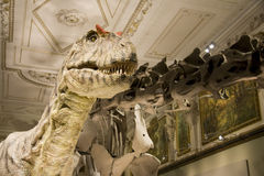 Naturhistorisches Museum Dinos exposition. Exposition of a Naturhistorisches Museum in Vienna showing, fossils skeletons and models of prehistoric animals. This Royalty Free Stock Photo