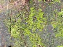 Naturholzhintergrund - grüner Farn verlässt auf einem alten Stumpf mit Lizenzfreies Stockfoto