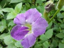 Naturl lös blomma av Sri Lanka arkivbild