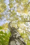 Naturlandschaft mit einem einzigartigen Baum und Niederlassungen, die den Himmel untersuchen Lizenzfreie Stockbilder