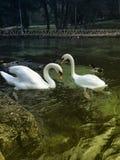 Naturlandschaft und -schwan Stockfotografie