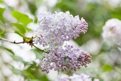 Naturlandskap med den rosa lila busken grön soft för bakgrund Trädgårds- plats Royaltyfri Fotografi