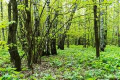 Naturlandskapsikt av en grön skogdjungel på vårsäsong med gröna träd och sidor Fridsamt stillsamt utomhus- landskap royaltyfri foto