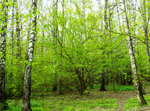 Naturlandskapsikt av en grön skogdjungel på vårsäsong med gröna träd och sidor Fridsamt stillsamt utomhus- landskap royaltyfria foton