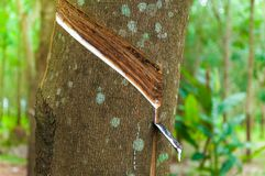 Naturlatexpara-Bratenfett von einem Gummibaum an einem Gummibaum stockbild