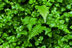Naturlig bakgrund av den gröna mintkaramellen och avgångsklasselever av ormbunken Flora av rainforesten Arkivfoto