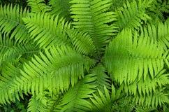 Naturlig bakgrund av gröna ormbunkesidor Arkivfoto