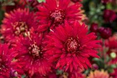 Naturlig bakgrund av ljusa purpurfärgade krysantemum blom- härlig bukett fotografering för bildbyråer