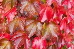 Naturlig bakgrund av röda Ivy Parthenocissus Quinquefolia Arkivfoton