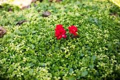 Naturlig bakgrund för grönt gräs med den röda blomman Top beskådar royaltyfria foton