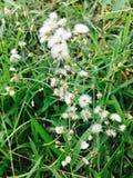 Naturlig bakgrund för liten vit minsta gräsblomma Arkivfoto