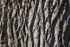 Naturlig bakgrund för poplartextur för skäll gammal tree Royaltyfri Bild