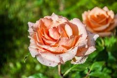Naturlig bakgrund för röda rosor/, Royaltyfria Foton