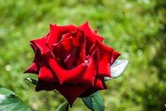 Naturlig bakgrund för röda rosor/, Royaltyfri Bild