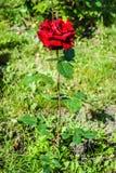 Naturlig bakgrund för röda rosor/, Arkivbilder