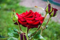 Naturlig bakgrund för röda rosor/, Royaltyfria Bilder