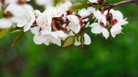 Naturlig bakgrund f?r h?rlig v?r Filialer av att blomma aprikosmakro i solen arkivfoton