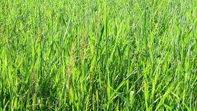 Naturlig bakgrund med frodigt grönt gräs lager videofilmer