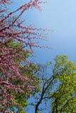 Naturlig bakgrund med rosa färgblommor, gröna träd och blå himmel Arkivbilder