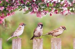 Naturlig bakgrund med tre fågelsparvar som sitter på ett trästaket i en lantlig trädgård som omges av Apple-träd blommor p royaltyfria foton