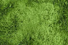 Naturlig bakgrund, mossa i den tidiga autumen för skog, färger av den årsGRÖNSKApantonen 2017 15-0343 TCX Arkivfoton
