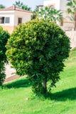 Naturlig bakgrund, runda gröna buskar växer på en grön gräsmatta royaltyfri bild