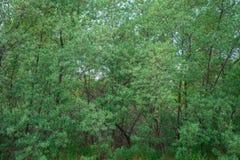 Naturlig bakgrund, textur av gröna sidor av träd, över huvud taget ram Horisontal inrama royaltyfri bild