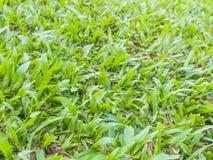 Naturlig bakgrund - textur för grönt gräs Arkivfoto
