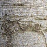 Naturlig bakgrund Textur för trädskäll, bokträd arkivfoto