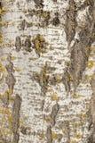 Naturlig bakgrund Textur för trädskäll med mossa, björk royaltyfri foto